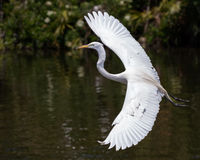 Great Egret in Flight Royalty Free Stock Photo