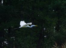 Great egret in flight on the tree background. royalty free stock photo