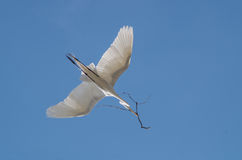 Great egret in flight with twig. Great egret & x28;Ardea alba& x29; in flight, carrying a twig for springtime nest building Stock Photography