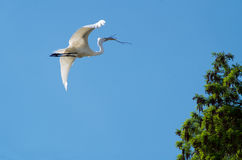 Great egret in flight with twig. Great egret & x28;Ardea alba& x29; in flight, carrying a twig for springtime nest building Stock Photo
