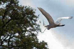 Great egret in flight with twig. Great egret & x28;Ardea alba& x29; in flight, carrying a twig for springtime nest building Stock Images