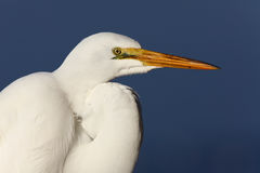 Great Egret In Florida stock image