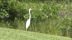 Great egret in Florida stock video