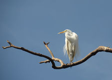Great egret in the Florida Everglades Stock Photo