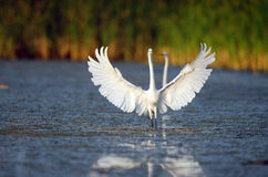 Great egret in Florida marsh royalty free stock photography