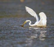 Great egret in Florida marsh Royalty Free Stock Photo