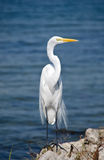 Great egret, Florida Stock Photos