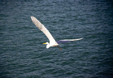 Great Egret flying. Over the sea in St thomas - US Virgin Island Stock Photos