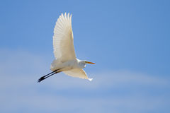 Great Egret Flying Stock Photos