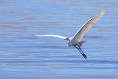 Free Great Egret Flying Stock Photo - 36524760