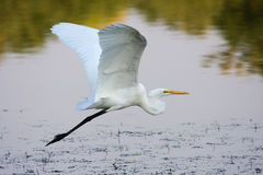 Great Egret Flying Royalty Free Stock Photos