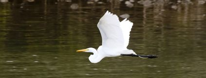 A Great Egret Flying Above Shallow Waters. A Great Egret Flying Above the Shallow Waters of an Inlet stock photography