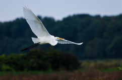 Great Egret Flying Across the Marsh Stock Photography