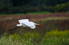 Great Egret Flying Across the Marsh Stock Photos