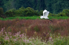 Great Egret Flying Across the Marsh Royalty Free Stock Photography