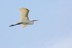 Free Great Egret Flying Against A Blue Sky Royalty Free Stock Images - 77164939