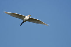 Great Egret Flying in a Blue Sky Stock Photos