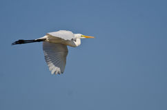Great Egret Flying in a Blue Sky Royalty Free Stock Photography