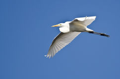 Great Egret Flying in a Blue Sky Royalty Free Stock Photos