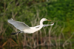 Great egret flying with building material Stock Photo