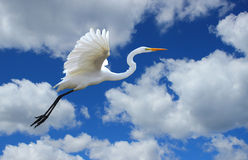 Great Egret Flying in the Clouds. A white Heron at Yolo Bypass Wildlife area stock photography