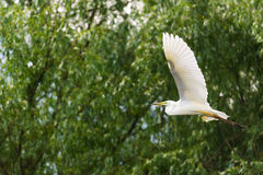 Great Egret Flying Royalty Free Stock Photo
