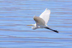 Great Egret flying Royalty Free Stock Image