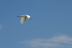 A great egret flying Royalty Free Stock Images