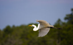 Great Egret Flying Home Stock Photography