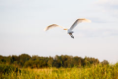 Great egret flying Stock Image