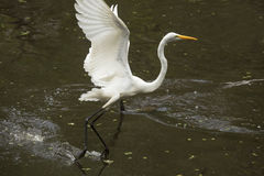 Great egret flying low while dragging its feet, Florida Everglad Royalty Free Stock Images