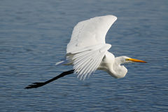 Great egret flying over clear blue water stock image