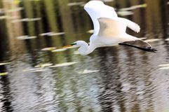 Great egret flying over lake Royalty Free Stock Images
