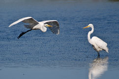 Great Egret Flying Over the Marsh Royalty Free Stock Photo