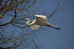 Great egret flying over a swamp in St. Augustine, Florida royalty free stock photo