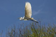 Great egret flying over a swamp in St. Augustine, Florida royalty free stock image