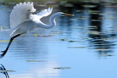 Great egret flying over water Stock Image