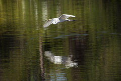 Great egret flying over water at a rookery in Florida. Stock Photo