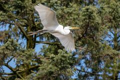 A great egret flying past pine trees stock images
