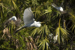Great egret flying past a rookery in palmettos, central Florida. Royalty Free Stock Photos