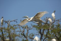 Great egret flying past a rookery in St. Augustine, Florida stock images