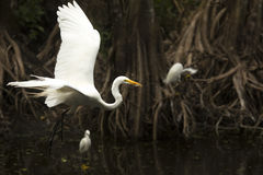 Great egret flying in a primeval swamp in Florida`s everglades. Stock Photo