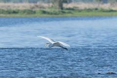 Great Egret flying with remains of fish Stock Photo