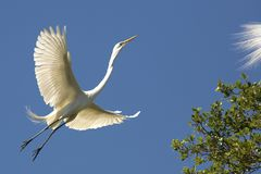 Great egret flying toward a tree in St. Augustine, Florida stock image