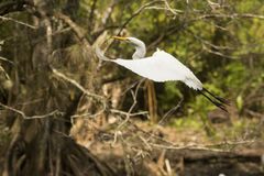 Great egret flying with twig in its bill, Florida everglades. Royalty Free Stock Images