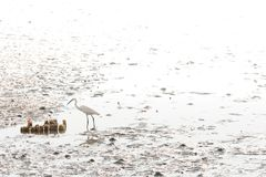 Great Egret foraging food on mudflats Stock Images