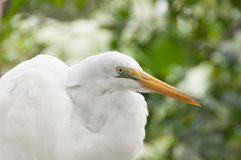 Great Egret. This friendly Egret visited our front yard and posed for me Royalty Free Stock Photo