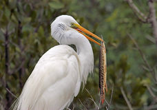 Great Egret with a Gar fish Royalty Free Stock Photos