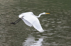 Great Egret glides above the water. Stock Image