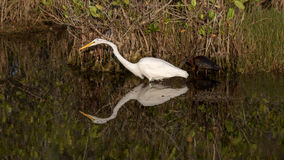 Free Great Egret, Glossy Ibis, Merritt Island National Wildlife Refuge, Florida Royalty Free Stock Images - 73358659